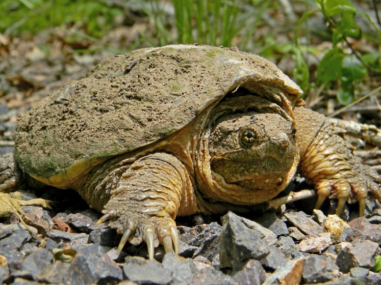 An adult snapping turtle is large, 20 to 37 cm in carapace length.