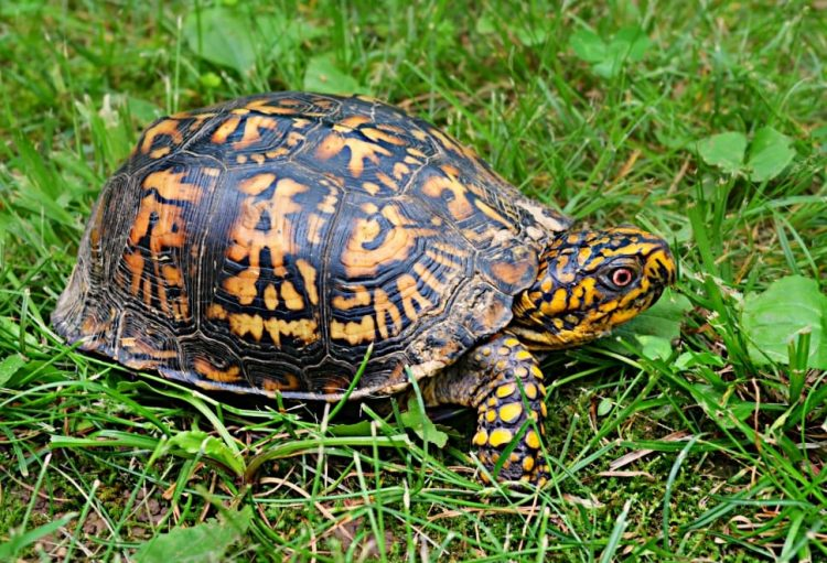 what do eastern box turtles eat.