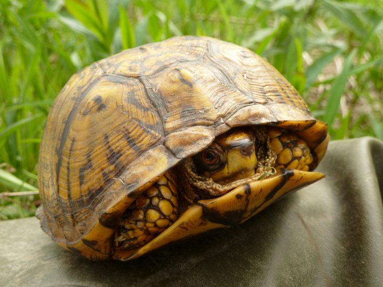 Eastern Box Turtle Care