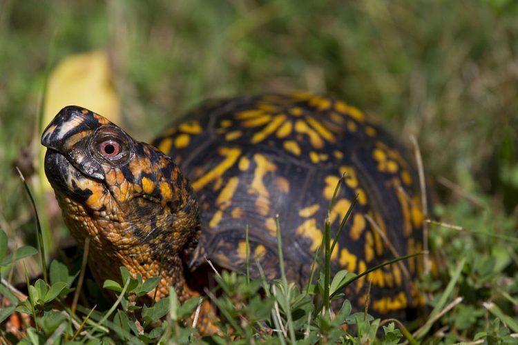 Eastern Box Turtle Diet