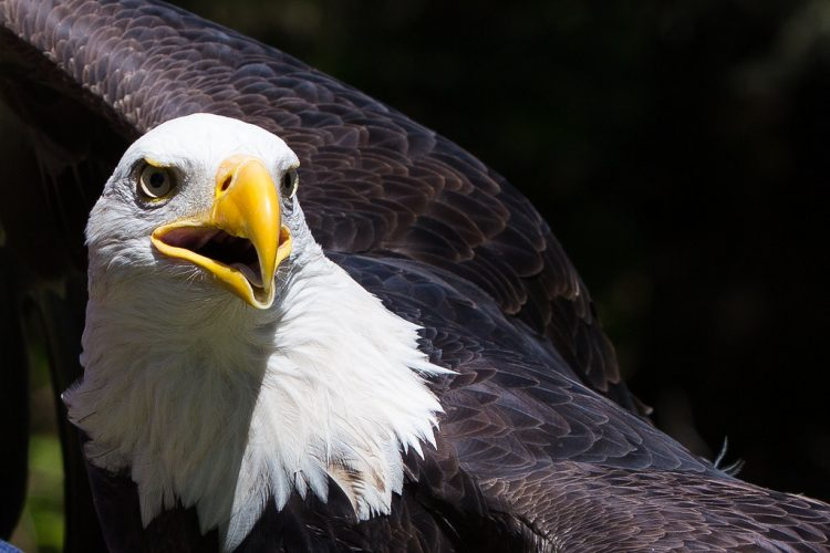 The bald eagle (Haliaeetus leucocephalus), is U.S. national symbol. It is a federally designated endangered species.
