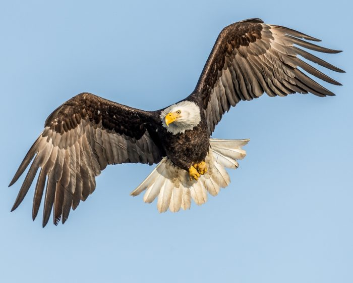 Bald eagles are primarily carrion feeders. Perhaps Bald Eagle sound is not good in listening. Normally they emit a sort of high-pitched giggle or a weak scream showing the classics symbol of adventure.