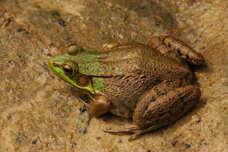 Green frogs primarily to inhabitant the banks of streams. They also can be found among rotting debris of fallen trees.
