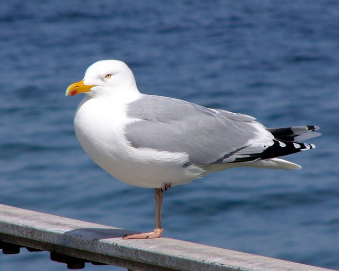 They are plentiful in temperate coastal areas and throughout the Great Lakes. Although gulls may feed from garbage dumps and landfills.