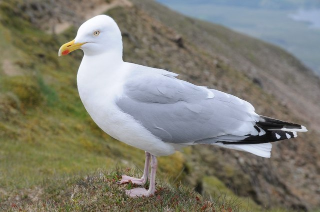 Gulls also forage by stealing food from other birds and by scavenging around human refuse sites i.e., garbage dumps, fish plants, docks, and seaside parks.