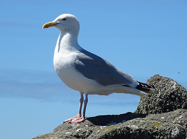 Gulls are medium-to-large-sized sea birds with long pointed wings, a stout, slightly hooked bill, and webbed feet.