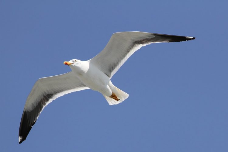 Herring gull populations along the northeast coast of North America tend to be migratory, while adult herring gulls of the Great Lakes are year-round residents.