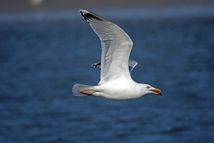 Gulls feed on a variety of foods depending on availability, including fish, squid, crustacea, molluscs, worms, insects, small mammals and birds, duck and gull eggs and chicks, and garbage.
