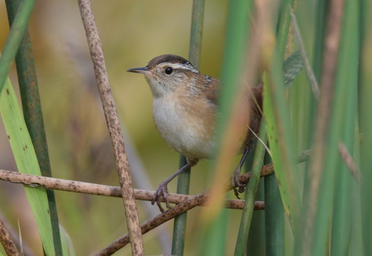 Although wrens are small (13 cm bill tip to tail tip; about 10 g body weight), males tend to be about 10 percent heavier than females.