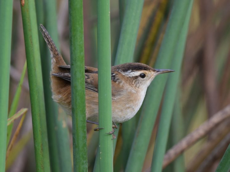 Marsh wrens inhabit freshwater and saltwater marshes, usually nesting in association with bulrushes, cattails, and sedges or on occasion in mangroves.