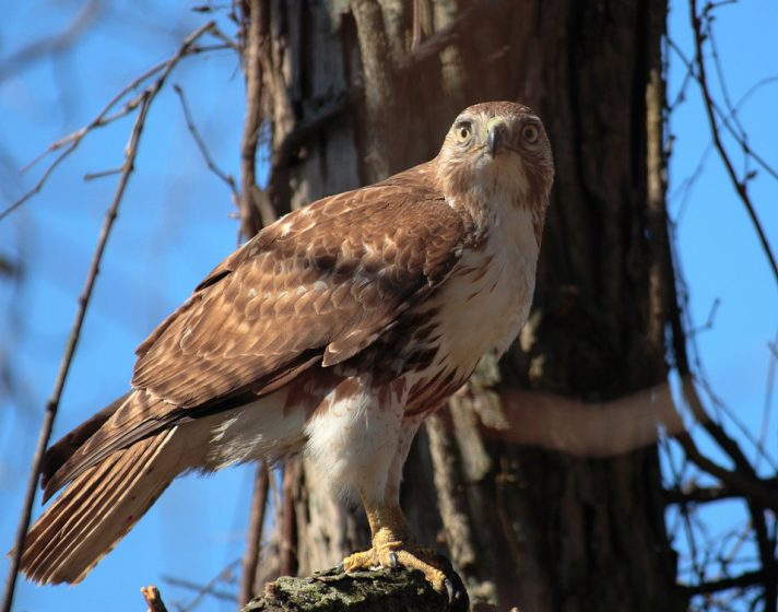 Red-tails Hawk builds their nests close to the tops of trees in low-density forests and often in trees that are on a slope.