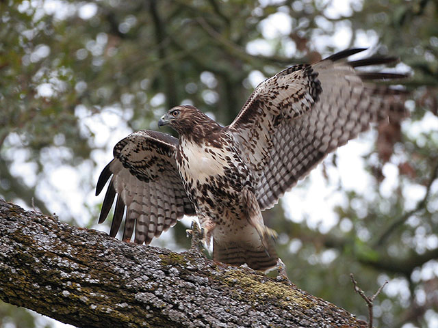 The Red-tails hunt mainly from an elevated perch, often near woodland edges. Small mammals, including mice, shrews, voles, rabbits, and squirrels, are important prey, particularly during winter.