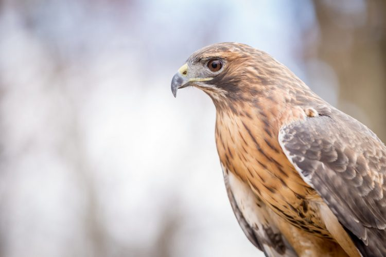 Red-tails Hawk also eat a wide variety of foods depending on availability, including birds, lizards, snakes, and large insects.