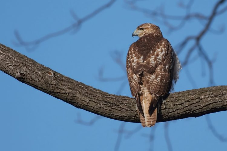 Red-tails Hawk are found in habitats ranging from woodlands, wetlands, pastures, and prairies to deserts.