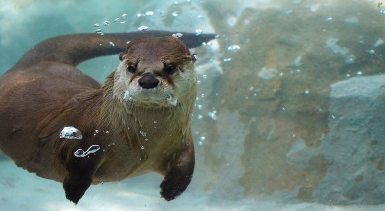 Almost exclusively aquatic, the river otter is found in freshwater, estuarine, and some marine environments all the way from coastal areas to mountain lakes.