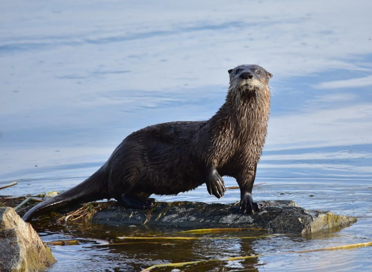 The river otter dens in banks and hollow logs. Individuals range over large areas daily, feeding primarily on fish.