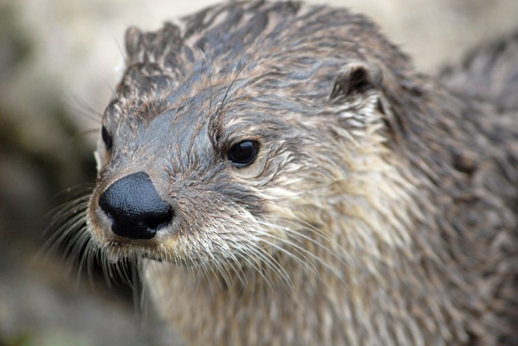 Otters appear to undergo bradycardia while submerged and can stay underwater for up to 4 minutes. Because of its piscivorous diet and high trophic level, the river otter is a noteworthy indicator of bioaccumulative pollution in aquatic ecosystems.