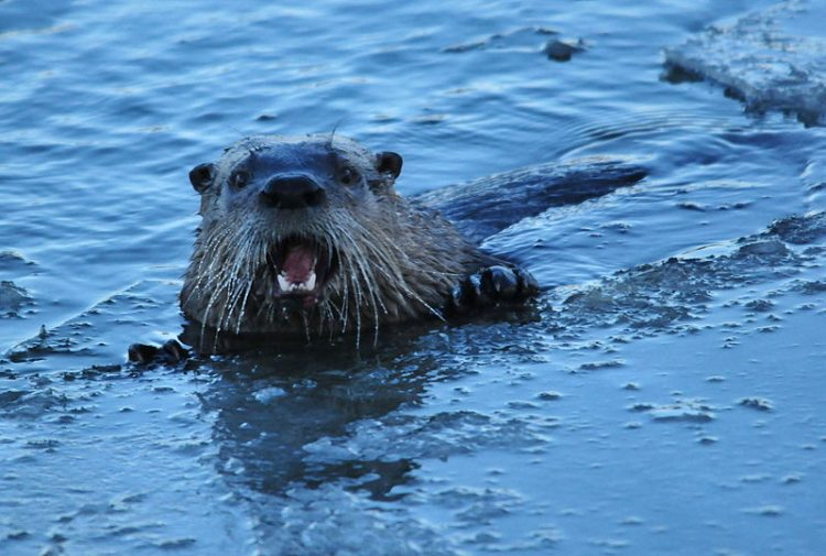 River otters measure 66 to 76 cm with a 30 to 43 cm tail. Sexual dimorphism in size is seen among all subspecies, and adult males (5 to 10 kg) outweigh females (4 to 7 kg) by approximately 17 percent. Full adult weight generally is not attained until sexual maturity after 2 years of age.