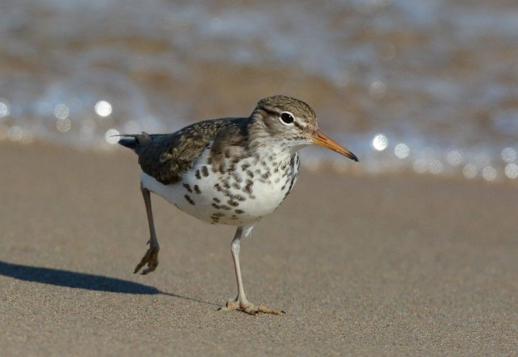 Spotted sandpipers breed along the edges of bodies of water. They usually in open habitats, from the northern border of the boreal forest across North America, south to the central United States.