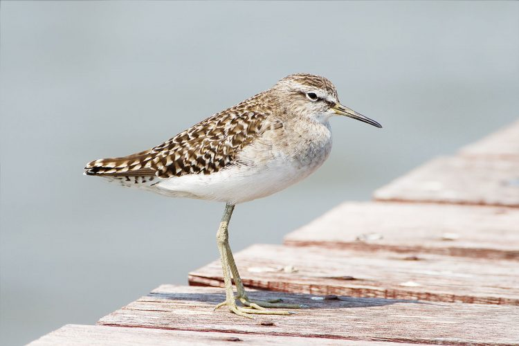 The song or call of Spotted Sandpiper is very sweet of quick string of 10 weets in a similar style. The bird may give a pair of weet note when alarmed.