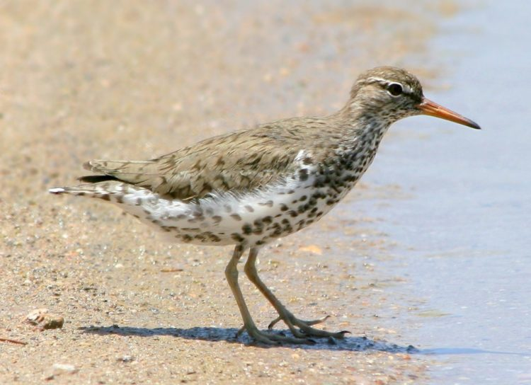 Moreover, Spotted Sandpipers also use a courtship song among a mated pair that has a series of soft pips before the standard song. If they are staggered while incubating, they may let out a loud squeal.