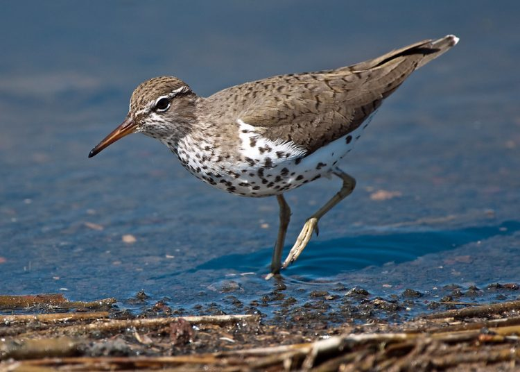 Spotted sandpipers lay a determinate clutch of four eggs. Females may lay several clutches in a year, often a dozen eggs per season. Egg-laying begins between late May and early June, and males incubate after the third egg is laid.