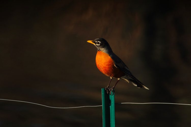The American robin (Turdus migratorius) occurs throughout most of the continental United States and Canada. This is a migratory songbird of the true thrush genus and Turdidae, the wider thrush family Muscicapidae.