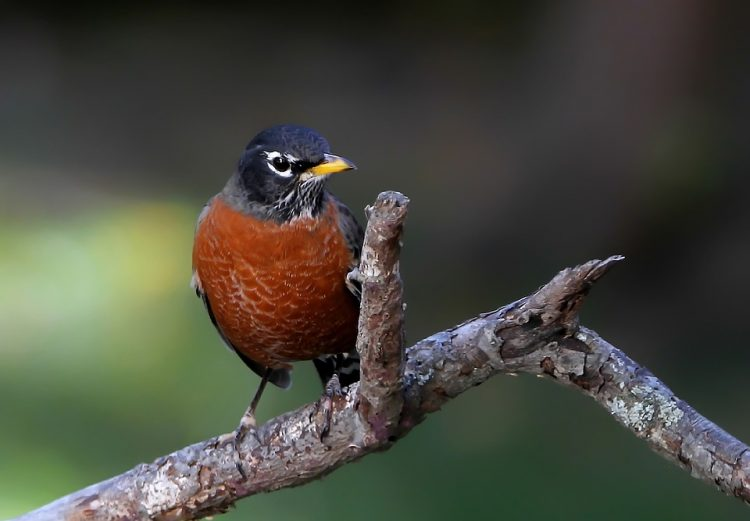 During the breeding season, male robins establish breeding territories, which the female helps to defend against other robins.
