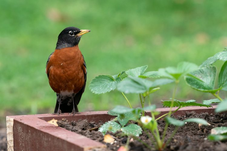 American robins are common garden birds overmuch of North America and their distinctive foraging behavior is well known.