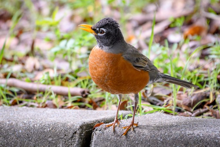 This is commonly a friendly songbird, very much comfortable around people. Sometimes even get close to dogs while playing in yard, also fast and strong in flight.