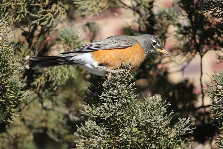 The robins mostly nest in wooded areas are usually near some type of opening such as the forest edge or a treefall gap.