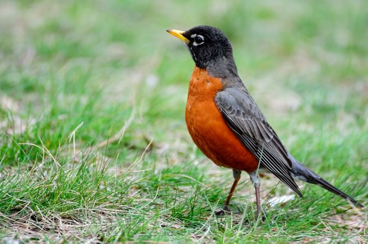 The robins forage by hopping along the ground in search of ground-dwelling invertebrates and by searching for fruit and foliage-dwelling insects in shrubs and low tree branches.