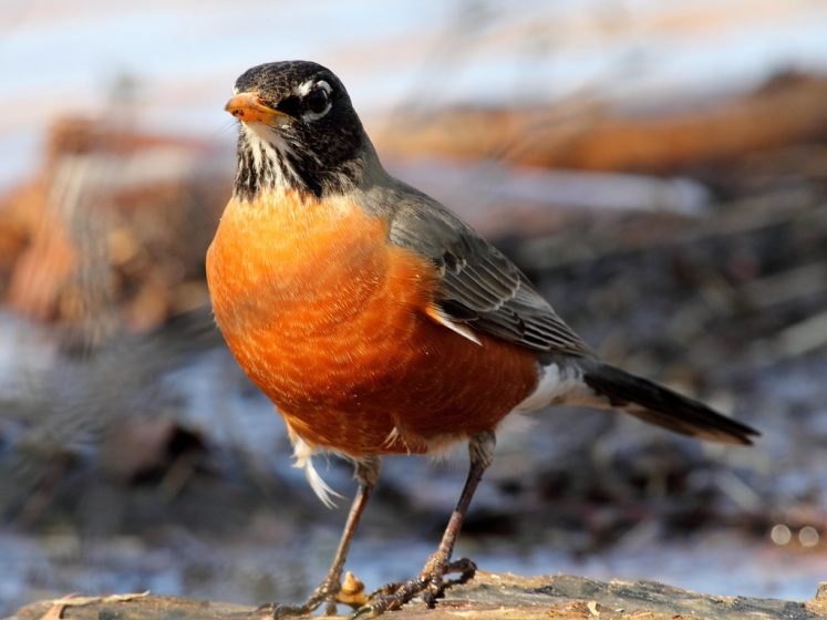 American Robin has the sweet familiar sound of spring, a string of clear whistles with a brief pause, often repeated syllables, like cheer up, cheerily, cheer up, cheerily.