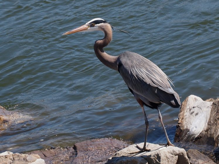 Great blue herons inhabit a variety of freshwater and marine areas, including freshwater lakes and rivers, brackish marshes, lagoons, mangroves, and coastal wetlands, particularly where small fish are plentiful in shallow areas.