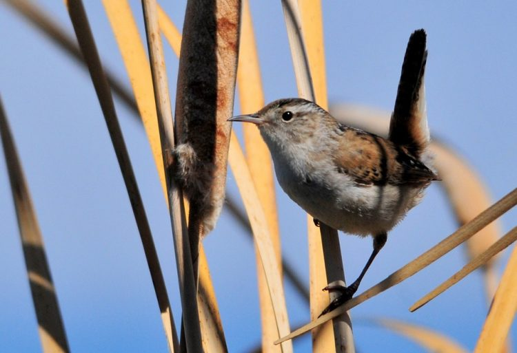 Most migratory wrens breed throughout the northern half of the United States through southern Canada and winter in Mexico and the southern half of the United States.