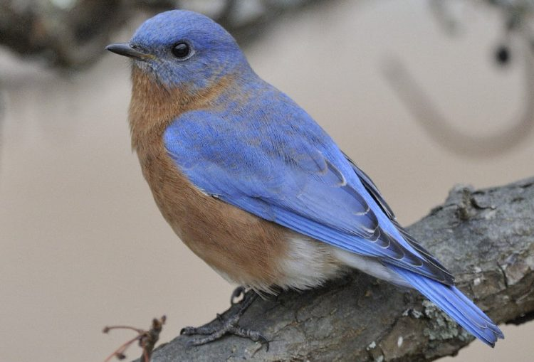 Since the Eastern Bluebird was the first bluebird classified by Carolus Linnaeus (1707·1778), he gave it the species name sialis, though he placed it in the genus Motacilia which is now reserved for the wagtails.