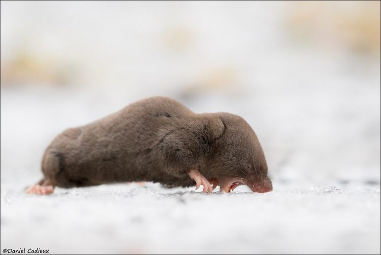 Short-tailed shrews inhabit a wide variety of habitats and are common in areas with abundant vegetative cover.