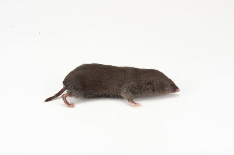 The short-tailed shrew is primarily carnivorous. Stomach analyses indicate that insects, earthworms, slugs, and snails can make up most of the shrew's food, while plants, fungi, millipedes, centipedes, arachnids, and small mammals also are consumed.