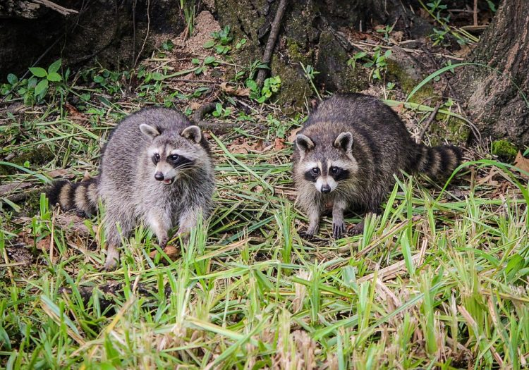 The raccoon (Procyon lotor) is the most abundant and widespread medium-sized omnivore in the North America. They are found throughout Mexico, Central America, the United States.