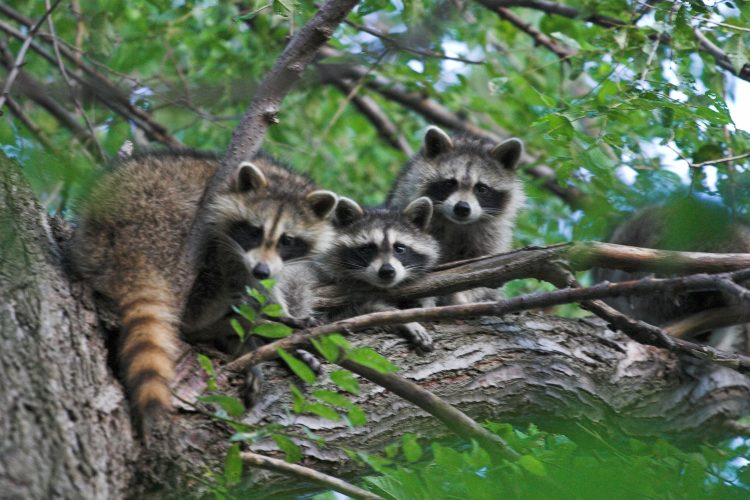 The Raccoon is most abundant and widespread medium-sized omnivore in the North America, also found in Mexico, Central America, & United States