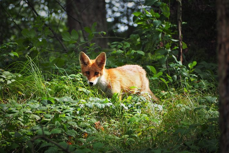 Red foxes (Vulpes vulpes) are present throughout the United States and Canada except in the southeast, extreme southwest, and parts of the central states.