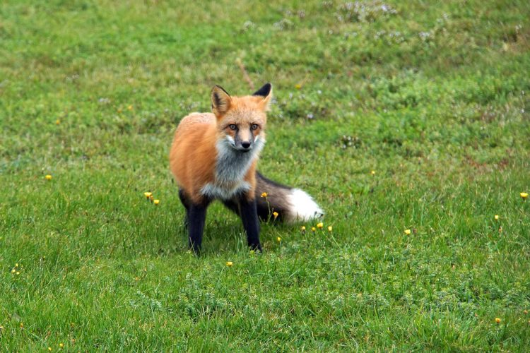 Red fox preys extensively on mice and voles but also feed on other small mammals, insects, hares, game birds, poultry, and occasionally seeds, berries, and fruits.
