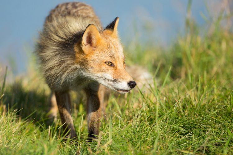 The dog-sized red fox has a body of about 56 to 63 cm in length, with a 35 to 41 cm tail. They weigh from 3 to 7 kg, with the males usually outweighing the females by about 1 kg.