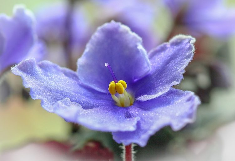 African violet has a great range of color and form. It is very easy to grow and they will flower continuously over a long period