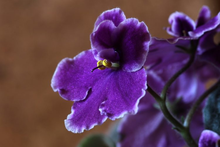 African violet known botanically as saintpaulia was first discovered in the hills of Tanzania in East Africa.
