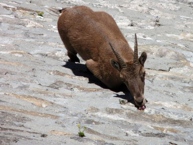 The Fearless Alpine Ibex (Capra ibex) are big wild mountain goats that live among the peaks in the European Alps where predators cannot reach