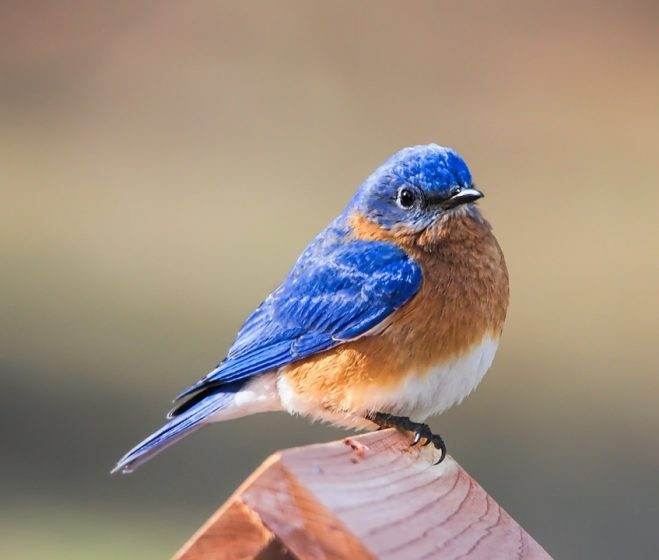 The theme of bluebird young nurtured in man-made structures will be a recurring one in our art and literature.
