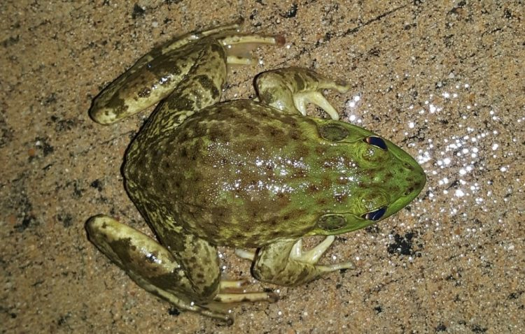 The bullfrog is the largest North American ranid. The adults usually range between 9 and 15 cm in length from snout-to-vent length (SVL)