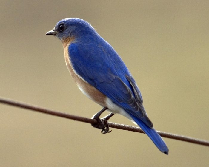 """In early Colonial times, the Eastern Bluebird is known n to have been much admired and was often called the """" blue robin """""""