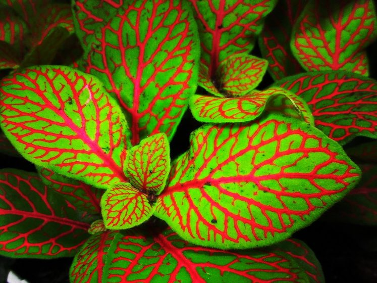 A perennial flower grown as a tender annual, coleus is loved for its dramatically variegated leaves shades of green, red, yellow, and white.